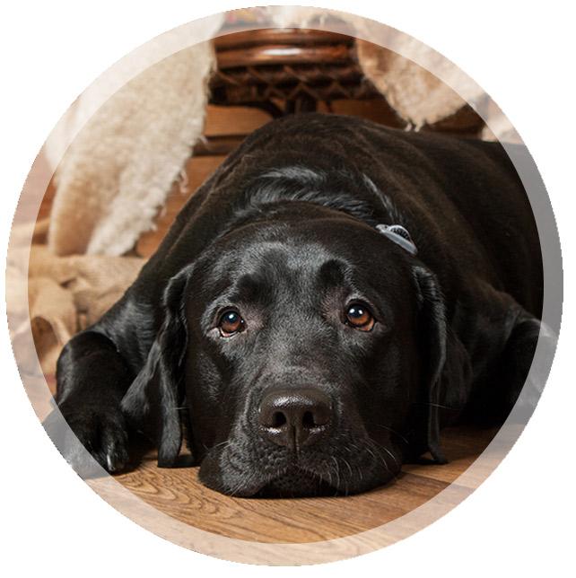 LRROF - Labrador Retriever Rescue of Florida